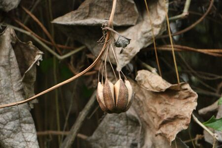hang up: Aristolochia indica Stock Photo