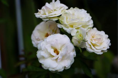 rose: White Rose