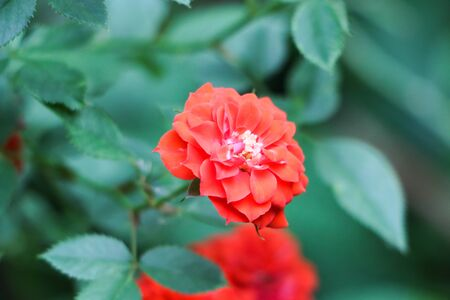 foreground focus: Red wild rose with foreground focus
