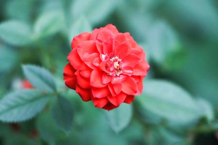 briar bush: Red wild rose Stock Photo