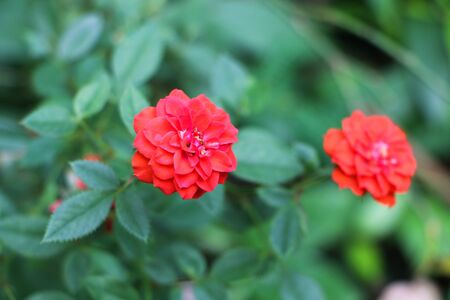 briar bush: Red wild rose with foreground focus
