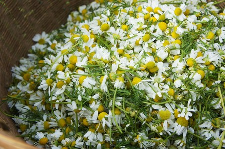 Basket of Chamomile Flowers