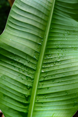 banana leaves: Banana leaves in the forest during raining