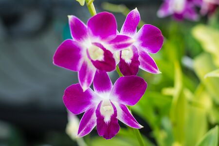 tropical shrub: Pink orchids in a gardens at health part Laem Chabang seaport Stock Photo