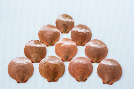 backgruond: 10 Scallops shell on a white backgruond in outside Stock Photo