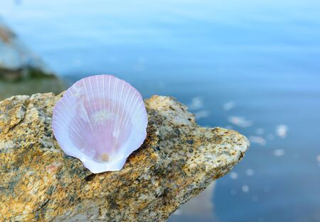 scallop shell: Scallop shell on the beach