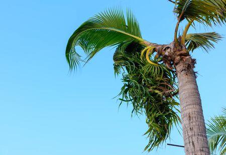 bent: Coconut bent in a garden