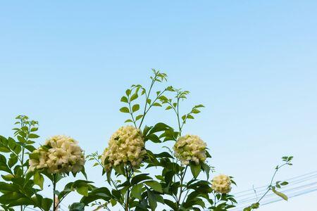 jessamine: Orange Jessamine blossom