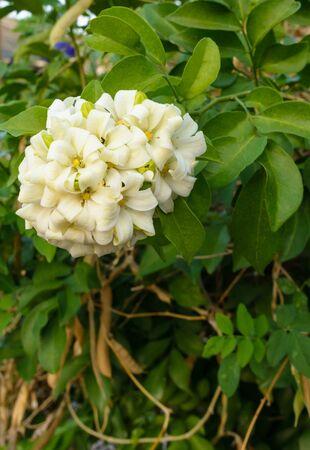jessamine: Single orange jessamine blossom