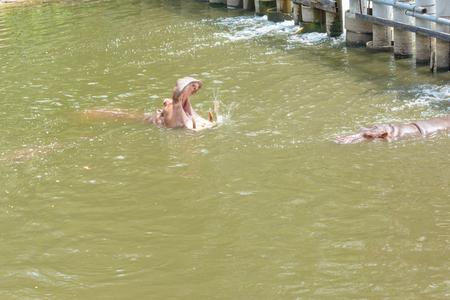 sympathize: hippopotamus in water