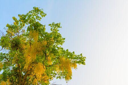 yellow blossom: Yellow blossom of tree