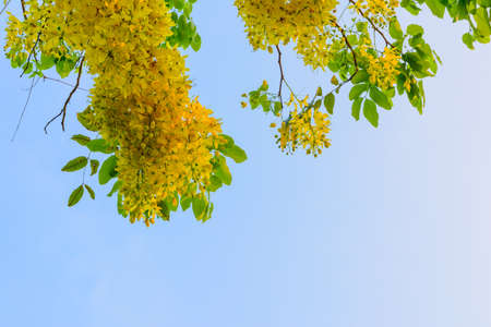 yellow blossom: Yellow blossom with clear sky