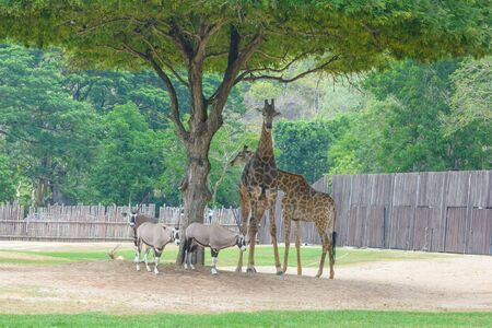 giraffe and chamois standing under a tree Stock Photo