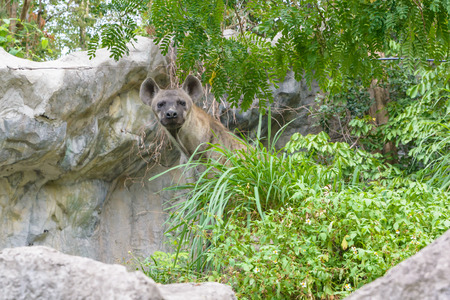 Brown hyena in a park