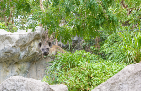 hyena: Brown hyena sit in a park