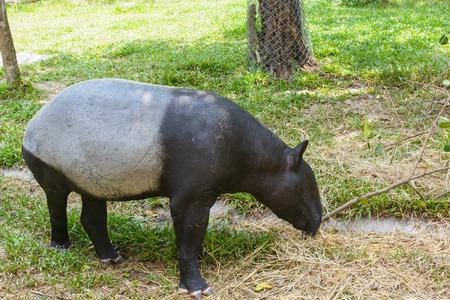 Tapir in a park Stock Photo