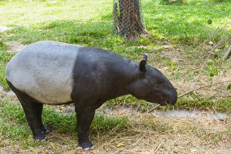 Tapir in a park at Thailand