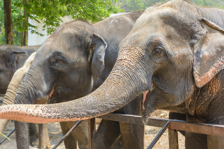 Elephant eating a food from visitor Stock Photo
