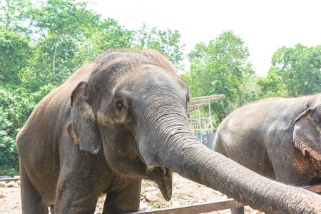Thin elephant in Thailand Stock Photo