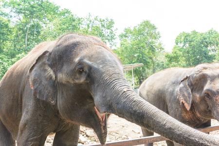 sympathize: Asia elephant in Thailand