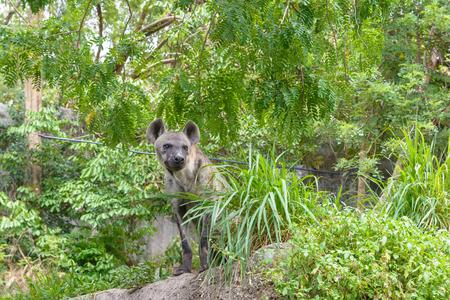 Hyena sit in a park
