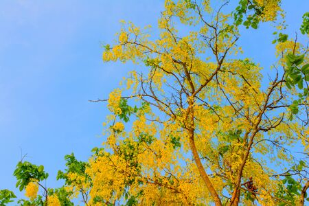 yellow blossom: Yellow blossom of tree in park