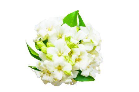 jessamine: fiore gelsomino su sfondo bianco Archivio Fotografico
