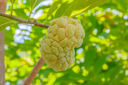 custard apple fruit: custard apple fruit on a tree Stock Photo