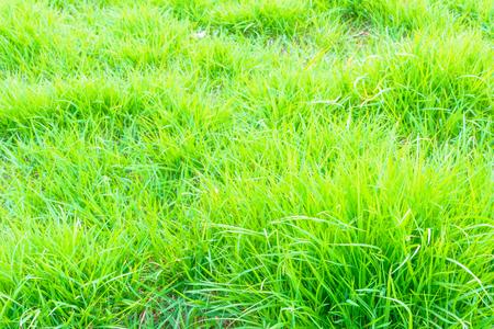 Grüne gräser hintergrund