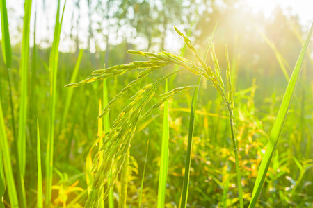 nature of sunlight: Green rice in farm with sunlight background