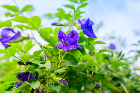 Clitoria ternatea blooming on tree. Blue flower herbal nature background