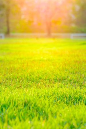 Green grasses with sunlight background. Outdoor with sunrise background