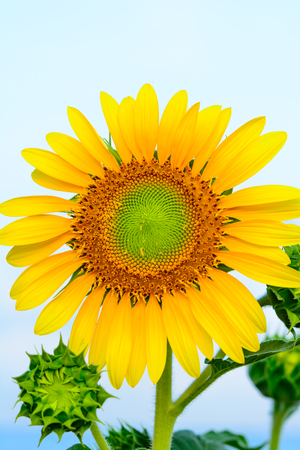 Sun flower at flower farm in Thailand. Algriculture flower farm in Thailand. Nature flower background Фото со стока