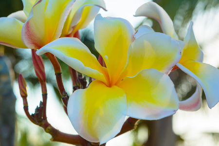 Close up frangipani blossom flower blooming background. Natural flower in outdoor background Фото со стока