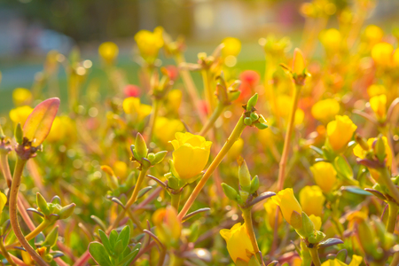 Yellow blossom flower with sunrise background. Outdoor flower with sunlight background