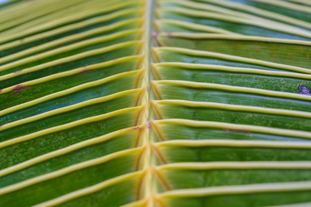 Abstract background and texture of palm leaf with closed up to show detail and lighting Фото со стока