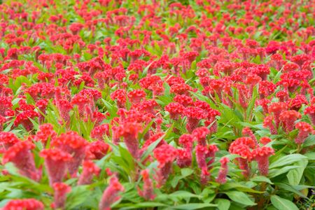 Red Celosia argente flower background. Nature flower and outdoor background