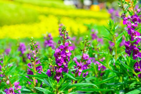 Purple Lavender flower background in gardens. Nature flower and outdoor background Фото со стока