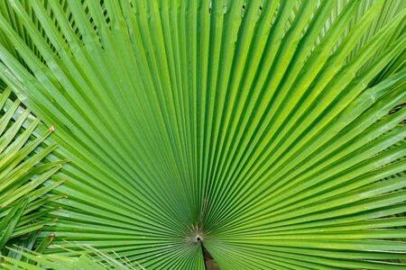 Abstract palm leaf texture background. Natural texture background