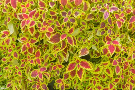 annual coleus flower background. Nature flower and outdoor background
