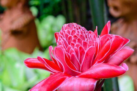 Etlingera elatior flower blossom background Фото со стока