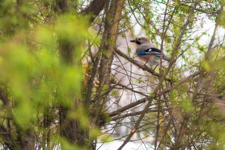 Jay bird in winter sits among the branches of green trees