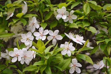 crab apple tree: Beautiful apple tree branch.
