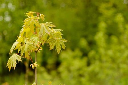 arboles frondosos: A branch of young Maple. Foto de archivo