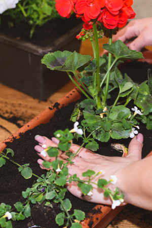 Planting flowers Pelargonium. Female hands compact the earth in a pot. Stock Photo