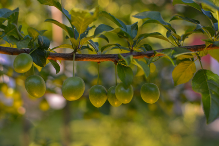 nascent: Unripe plums on a branch with green leaves