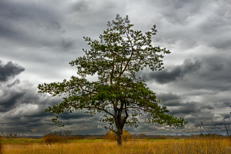 spit: Solitary Pine in a Field. Came the autumn. In the rain clouds sky