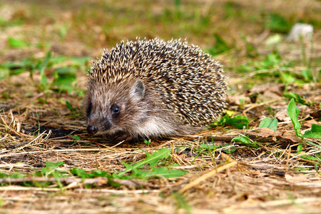 hedge: Hedgehog in grass and looking at the camera 2 Stock Photo