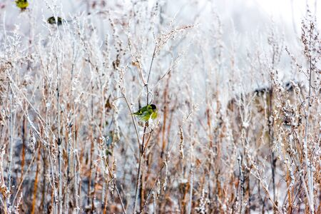 frenetic: Siskin sitting on a long dry grass