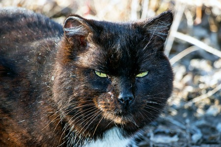 chantilly: Old seasoned black cat Stock Photo